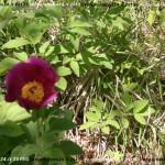 VN24_Vergato_Peonie Monte Pero_Mauro Angela-05