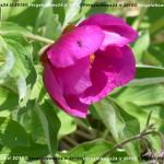 VN24_Vergato_Peonie Monte Pero_Mauro Angela-46