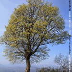VN24_alberi più grandi_foto_1 copia