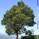 VN24_alberi più grandi_foto_2 copia