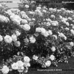 2-siepe-di-rose-copia
